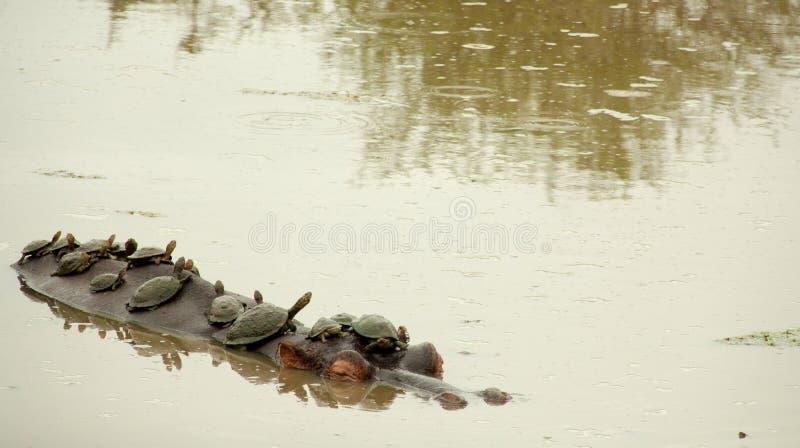 Sköldpaddor som tar flodhästdrevet royaltyfri bild