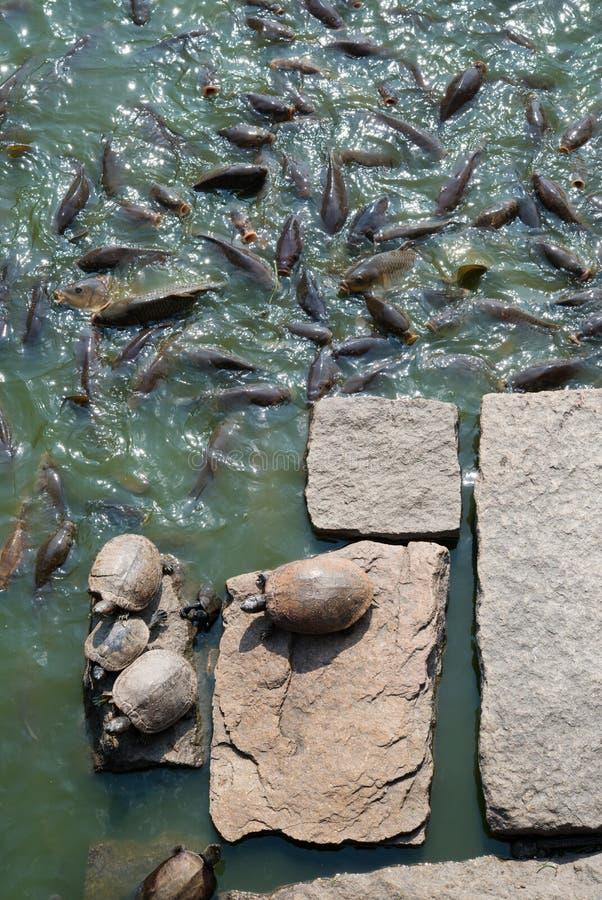 Sköldpaddor vaggar på och många karpen royaltyfri fotografi