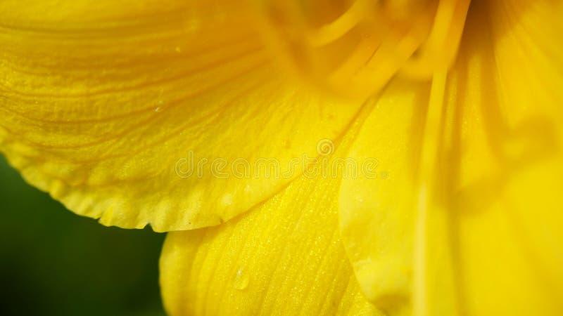 Skönhet av den gula blomman royaltyfri bild