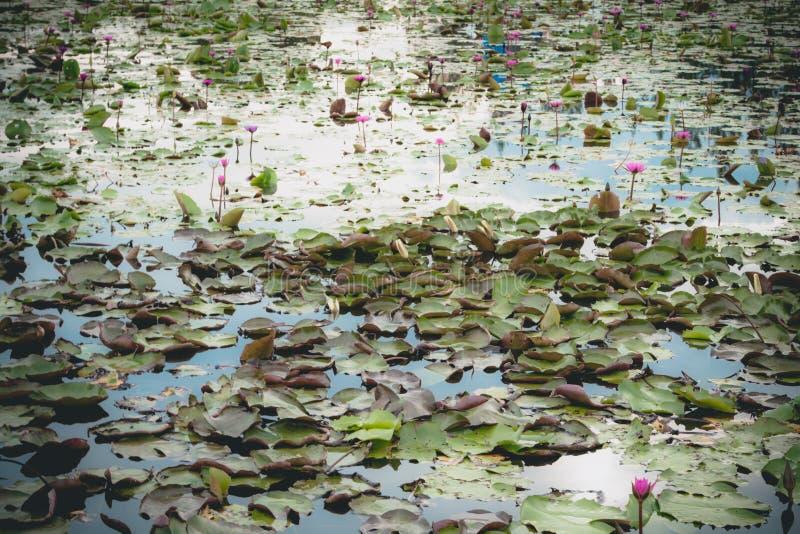 Skönhet av lotusblomman arkivbild