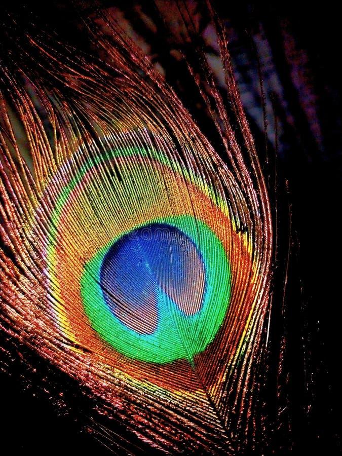 Skönhet av NaturePeacocks fjädrar royaltyfri fotografi