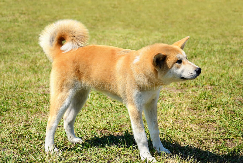 SkönhetAkita Inu hund royaltyfria bilder