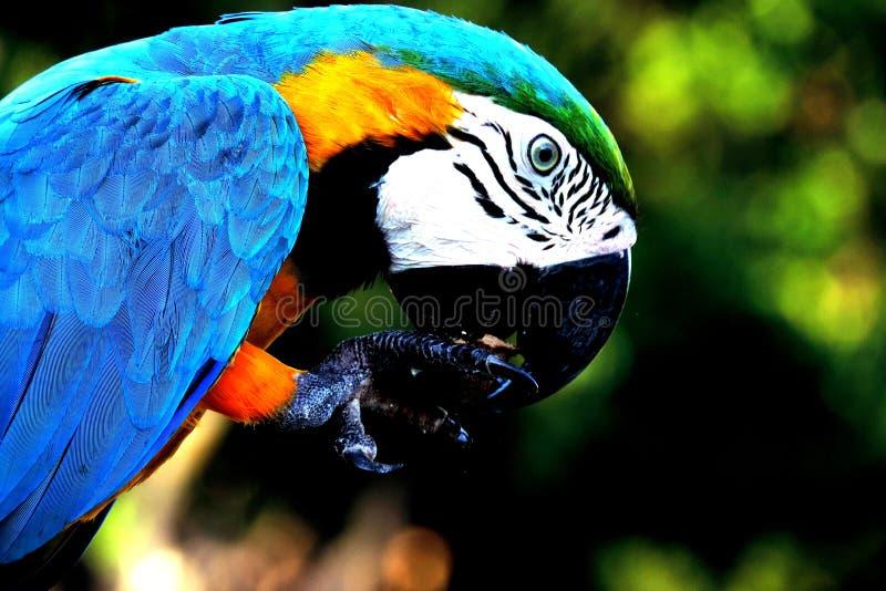 Skönheten av brasilianska fåglar royaltyfria bilder