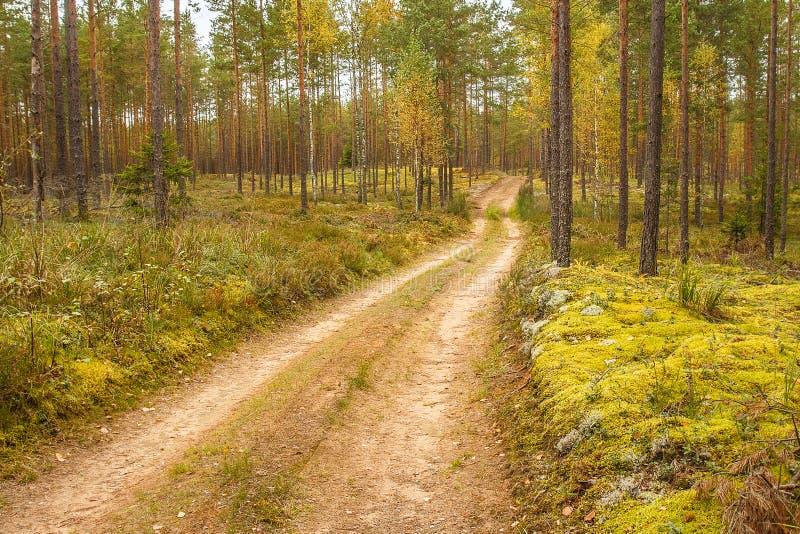 Skönheten av den guld- hösten i en pinjeskog royaltyfri bild