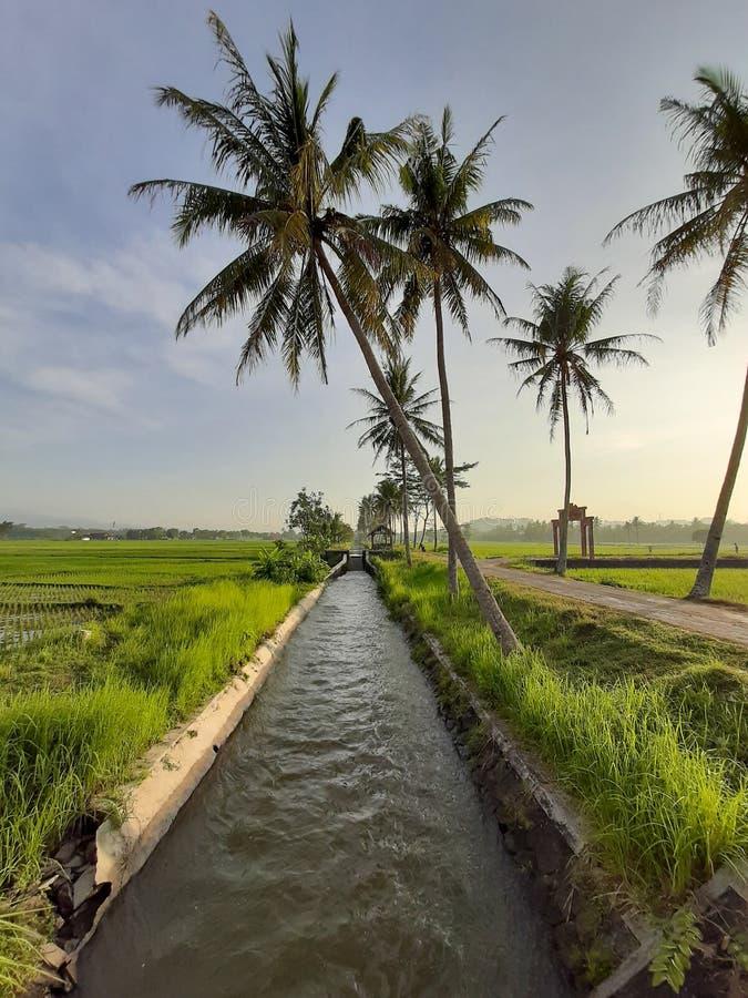 skönheten av morgonsikten med kokospalmer, gröna risväxter och skinande ljust solljus royaltyfri fotografi