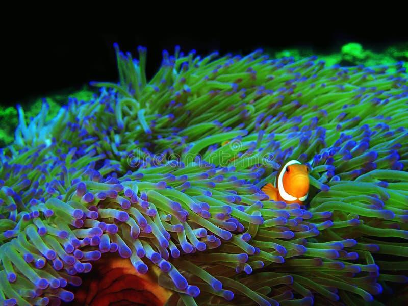 Skönheten av undervattens- världsdykning i Borneo, Sabah fotografering för bildbyråer