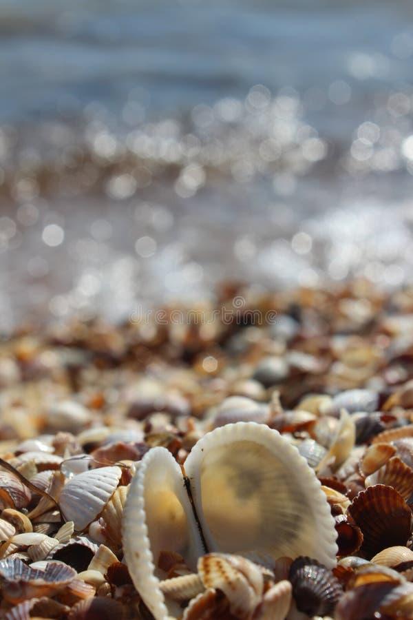 Skönhetsnäckskal på kusten arkivfoto