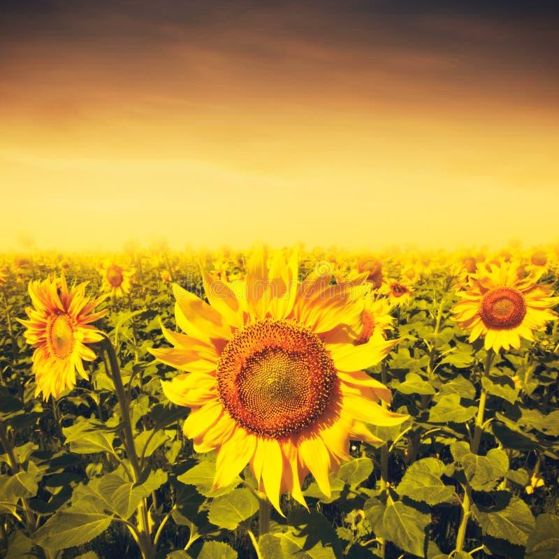 Skönhetsolnedgång över solrosfält royaltyfria foton
