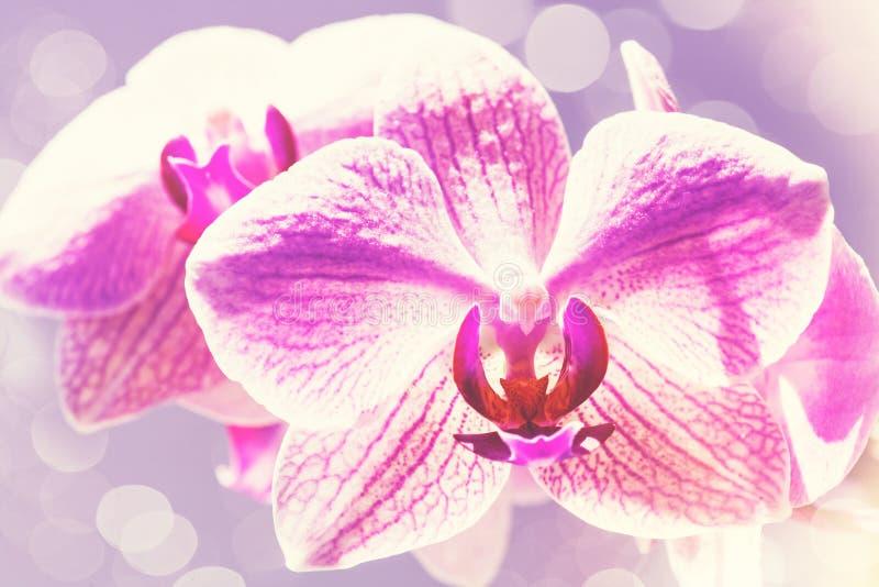 Skönhetvårbakgrunder med den rosa orkidén fotografering för bildbyråer