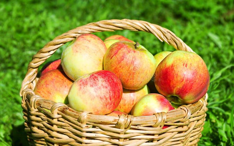 Skörd av äpplen i en höstfruktträdgård royaltyfria foton