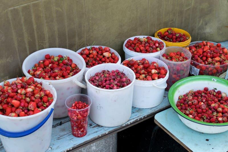 Skörd av den nya röda jordgubben i många hinkar i sommar på trädgården arkivbild
