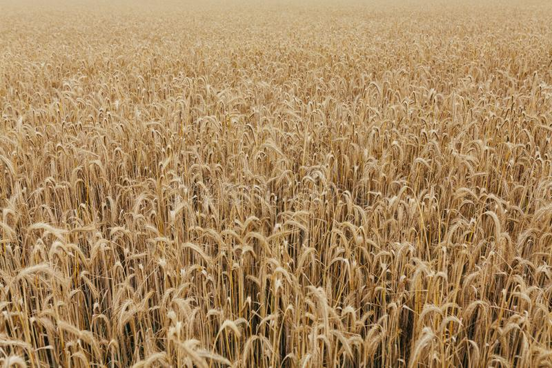 Skörd för korn för bakgrund för textur för vetefält arkivbild