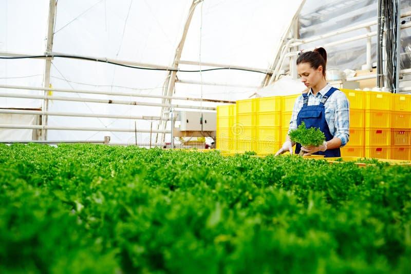 Skörd för växthusarbetarsammankomst royaltyfri bild