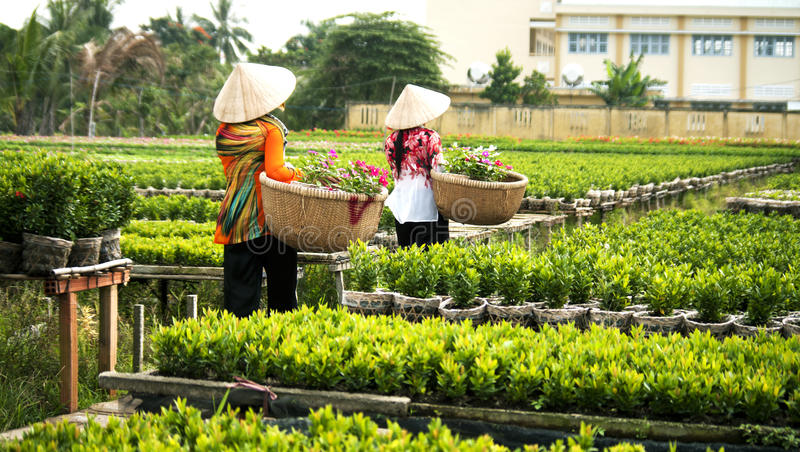 Skörda blommor i Sadec blomma byn, Vietnam arkivbild