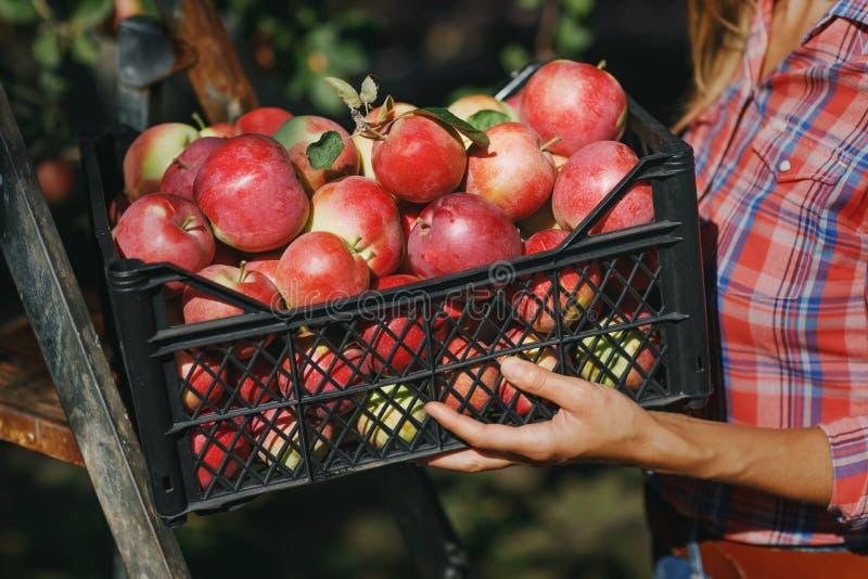 Skörda: boxas mycket av mogna äpplen i händerna av en bonde arkivfoto