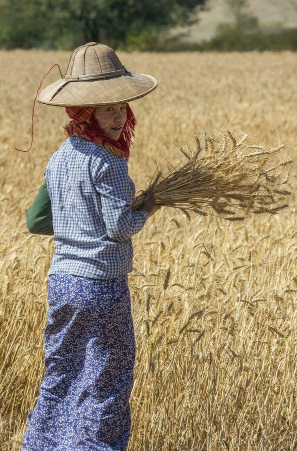 Skörda - Burmese jordbruk - Myanmar royaltyfria bilder