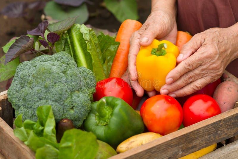 Skörda den organiska trädgården för grönsaken hemma, den hemlagade produkten som är klar till försäljningen royaltyfri foto