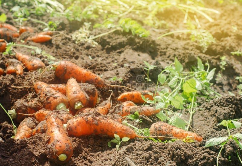 Skörda moroten på fältet V?xande organiska gr?nsaker mor?tter som sk?rdas nytt Sommarsk?rdjordbruk lantbruk Agro royaltyfri fotografi