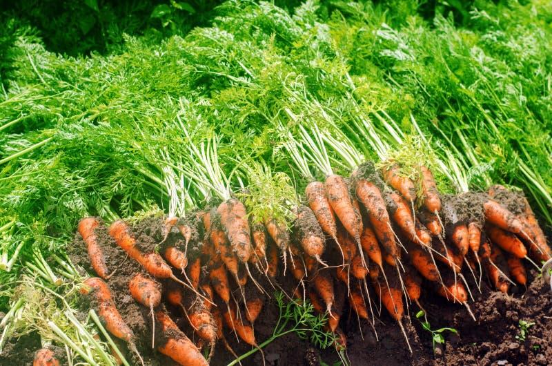 Skörda moroten på fältet V?xande organiska gr?nsaker mor?tter som sk?rdas nytt Sommarsk?rdjordbruk lantbruk Agro royaltyfria bilder