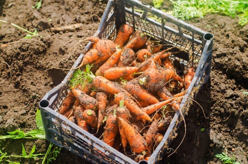 Skörda moroten på fältet V?xande organiska gr?nsaker mor?tter som sk?rdas nytt Sommarsk?rdjordbruk lantbruk Agro arkivbilder