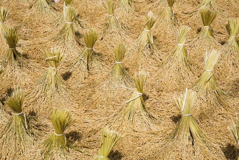 skörda rice royaltyfria bilder