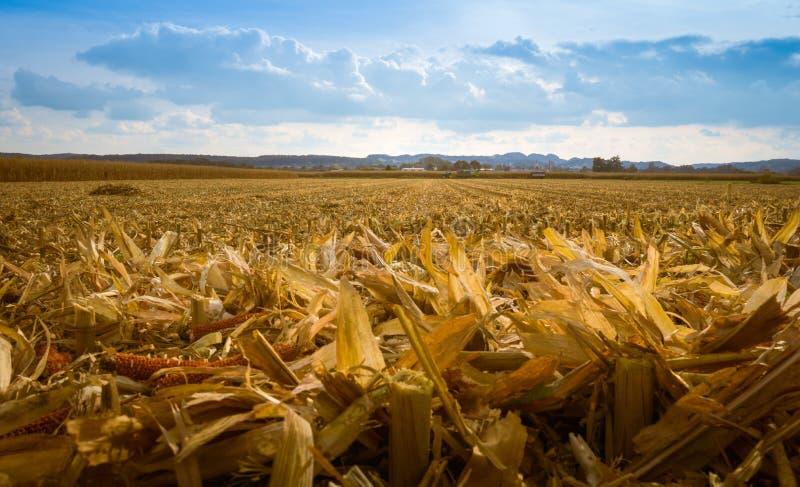 Skördad cornfield och molnig himmel arkivfoton