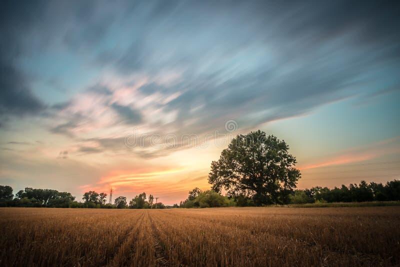 Skördad guld- panorama för vetefält med trädet på solnedgången, lantlig bygd fotografering för bildbyråer