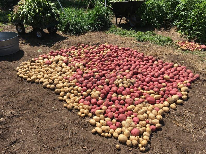 Skördade röda och vita potatisar royaltyfria foton
