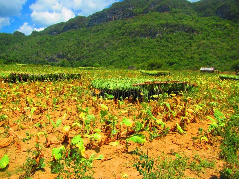 Skördade tobakväxter som upp till hänger torrt i ett fält royaltyfria foton