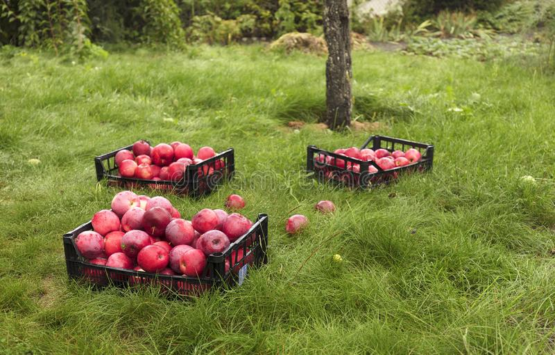 Skörden av röda mogna äpplen samlas i plast- korgar royaltyfria bilder