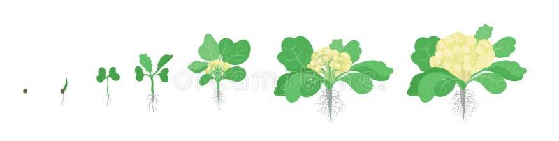 Sk?rdetapper av blomk?lk?l V?xande blomk?lv?xter Sk?rdtillv?xtgr?nsak Brassicaoleraceavektor framl?nges royaltyfri illustrationer