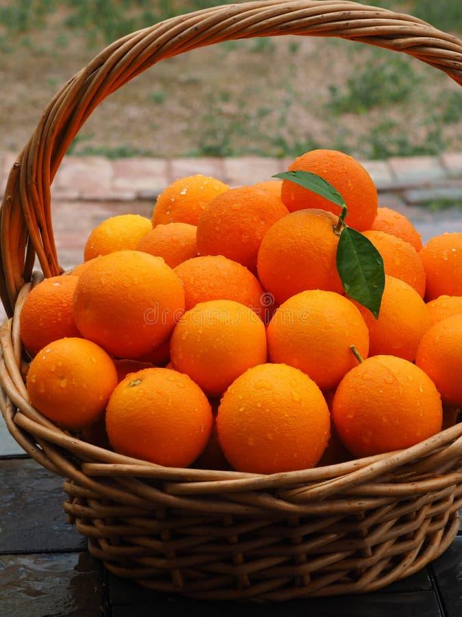 Skördkorg av nya valda organiska apelsiner royaltyfria foton