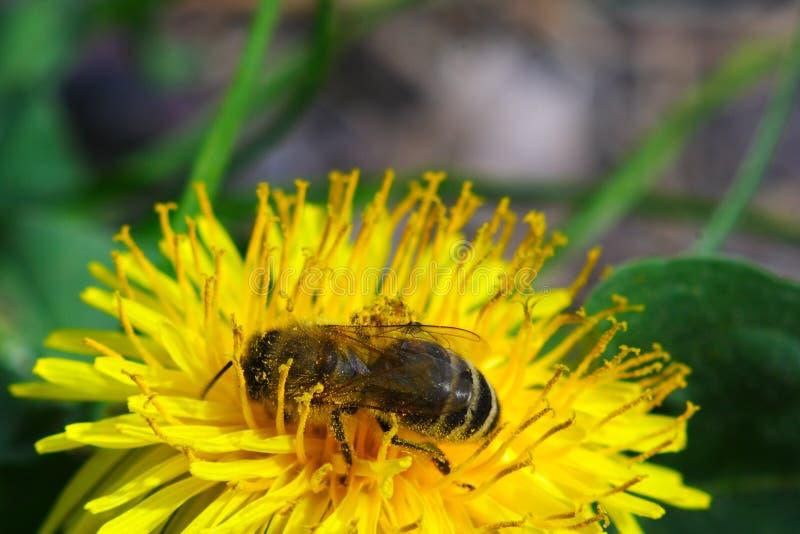 Skąpanie w kwiecistym pollen zdjęcia stock