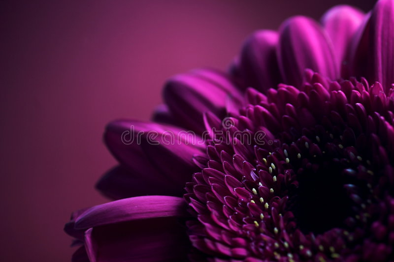 skład 2 fioletowy kwiat fotografia royalty free