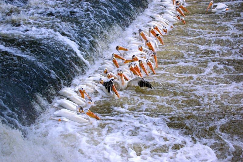 skład pelikan zdjęcie royalty free