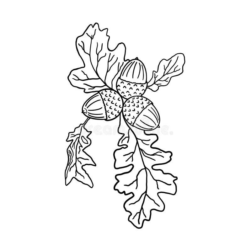 Skład trzy acorns z dębowymi liśćmi Na bia?y tle czarny i bia?y ilustracja ilustracji