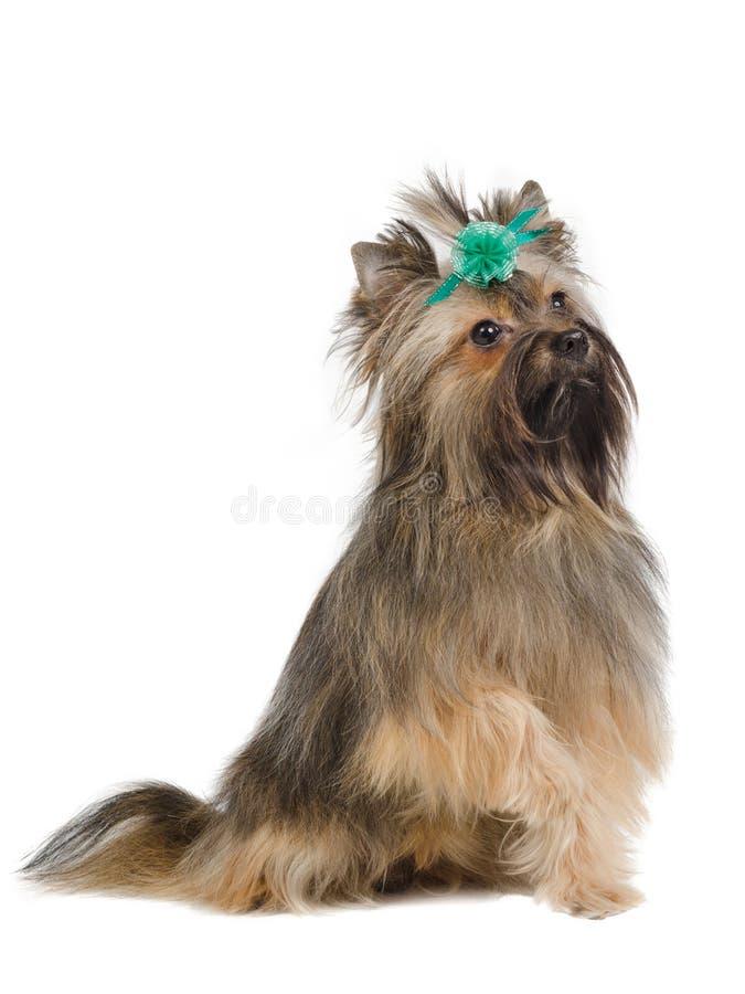 skämtsam terrier yorkshire royaltyfri foto