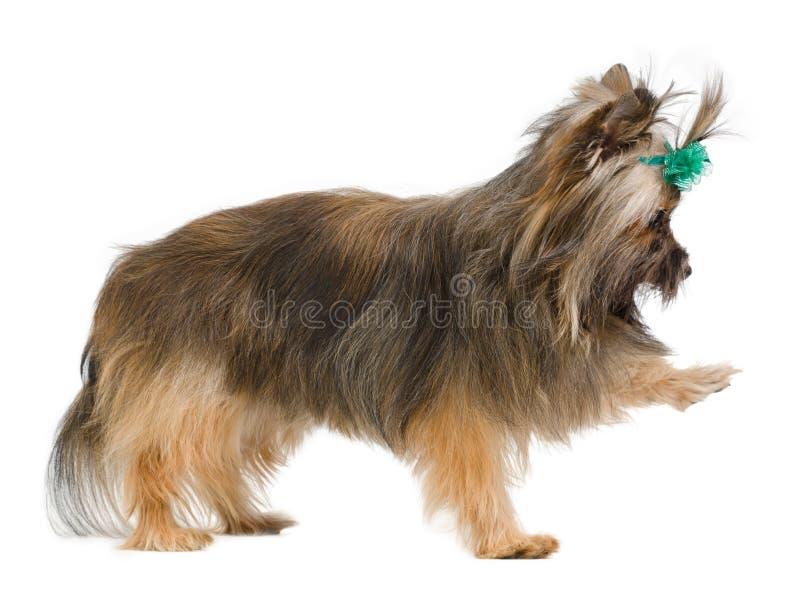 skämtsam terrier yorkshire royaltyfri bild
