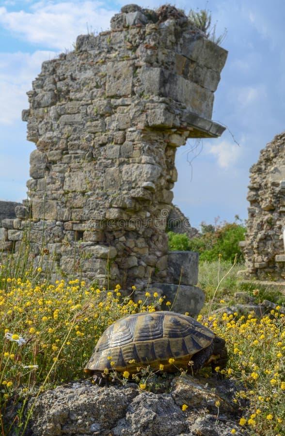 Sk?ldpaddan p? en sten bland de gula blommorna p? en bakgrund av forntida f?rd?rvar royaltyfri bild