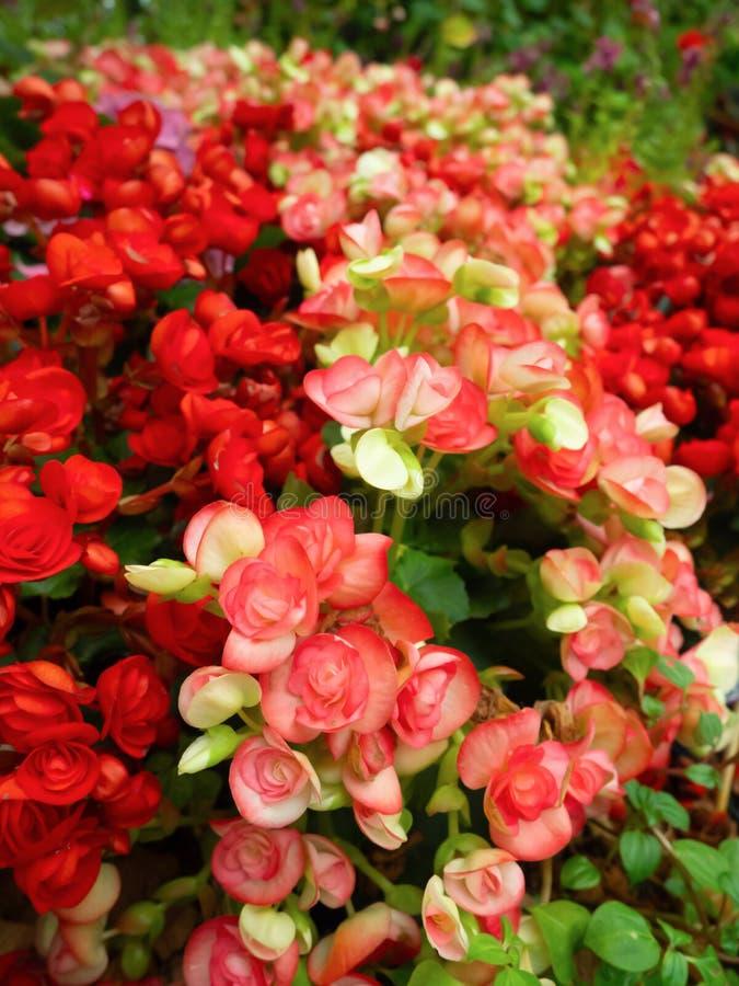 Sk?nheten av blomman med f?rgrikt r?tt blommar i tr?dg?rden arkivbilder