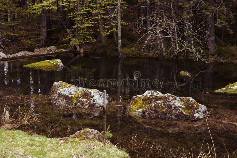 Skały przerastać mech w lasowym jeziorze, bagażniki drzewa Wciąż woda, zanurzający kamienie, ciemność Odbicia w przejrzystym waci zdjęcia royalty free