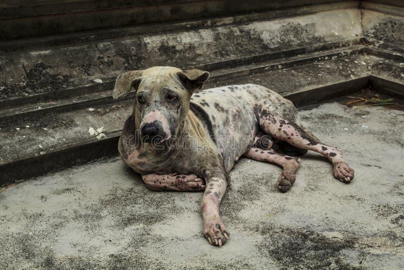 Skabbig hund som ligger på cementgolvet arkivbilder
