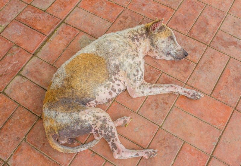 Skabbig hund som ligger på golvet royaltyfri bild