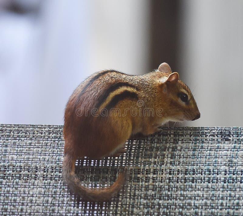 Skacowany Chipmunk fotografia stock