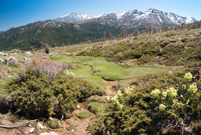 Skacze na mechatym skłonie w Korsykańskich wysokich górach obraz royalty free