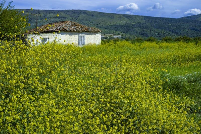 Skacze na Peloponnese, Grecja, dzikich kolorów żółtych kwiatach i małym białym rolnika domu, obraz stock