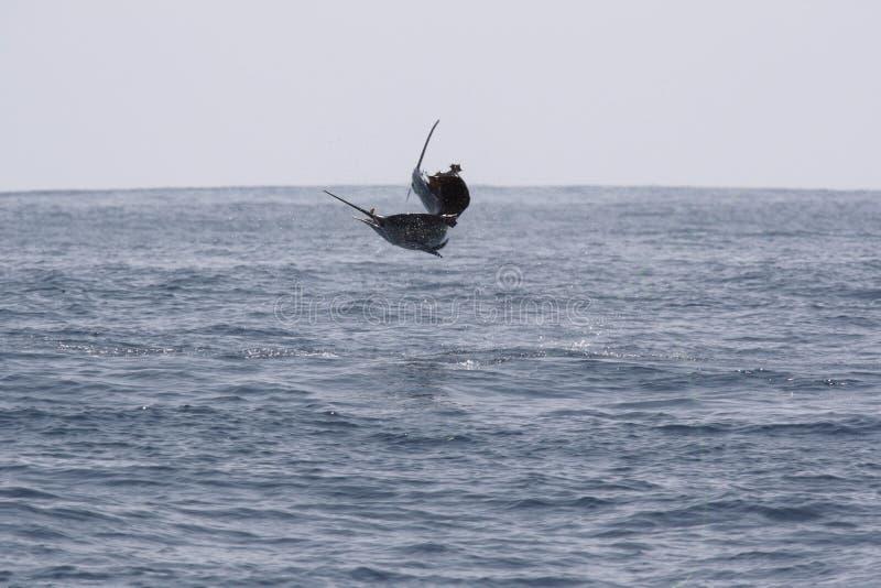 Skacze sailfish podczas gdy głębokiego morza sporta oceanu połów Pacyficzny ocean, obraz stock