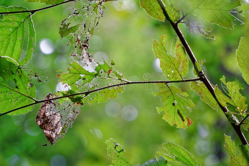 Skada av trädbladet med vid plågalarven arkivbilder
