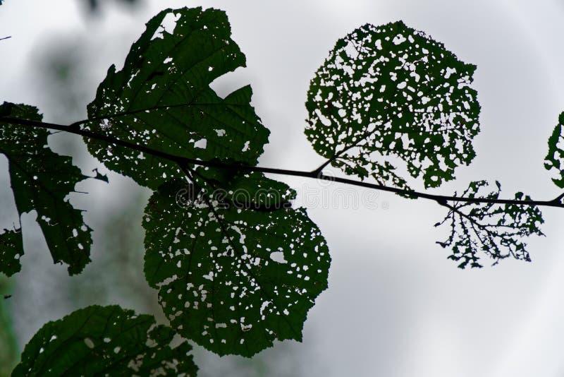 Skada av trädbladet med vid plågalarven arkivbild