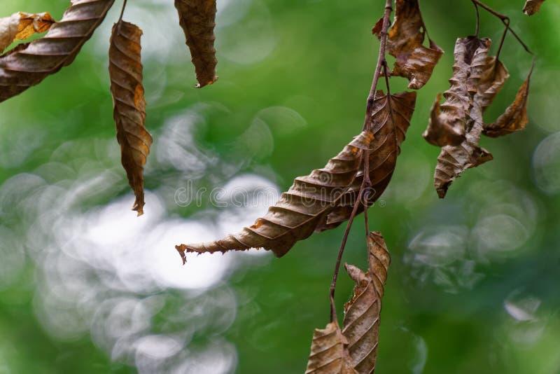 Skada av trädbladet med vid plågalarven royaltyfria foton